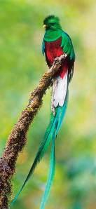 ralph-resplendent_quetzal
